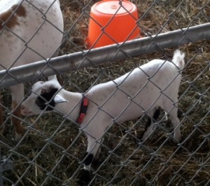 And I squeeeeed over the baby goats.